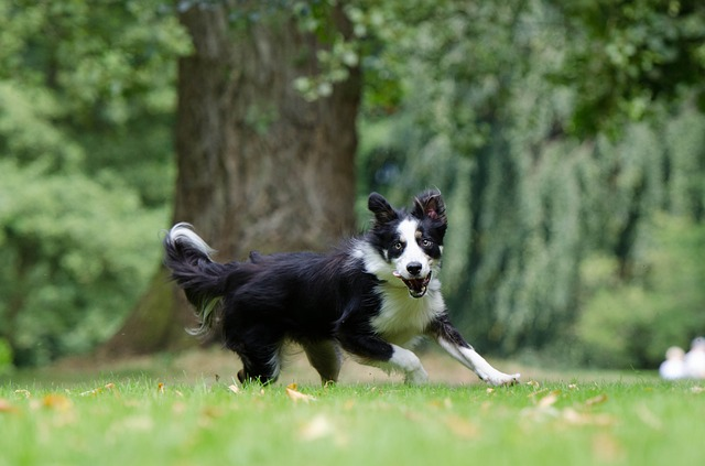 border-collie-794399_640
