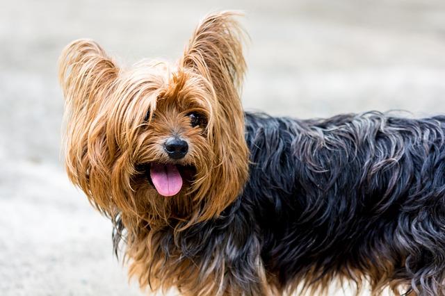 yorkshire-terrier-361704_640
