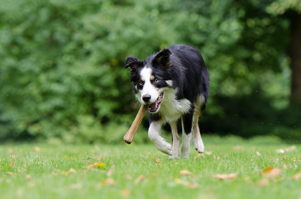 border-collie-750593_960_720