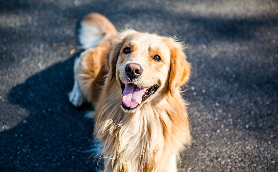 golden-retriever-1059490_960_720
