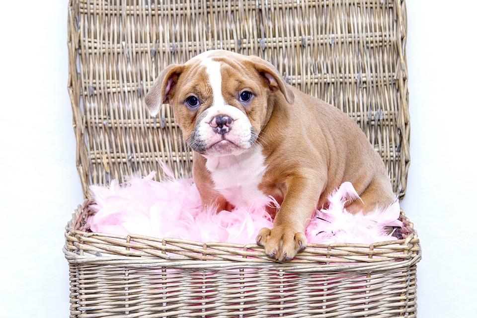 puppy-1118582_960_720