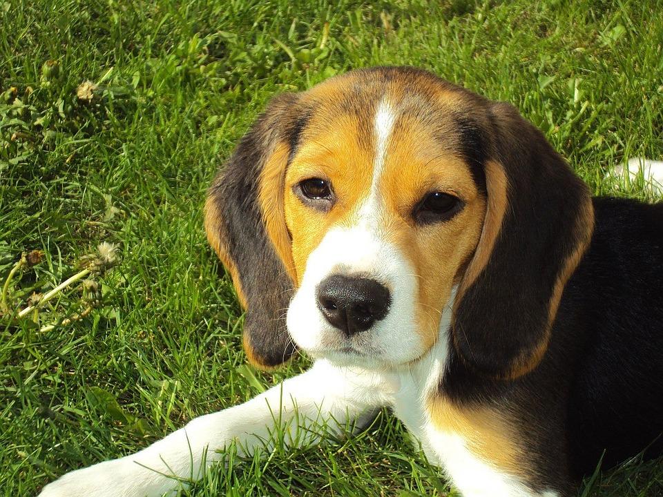 beagle-puppy-2681_960_720
