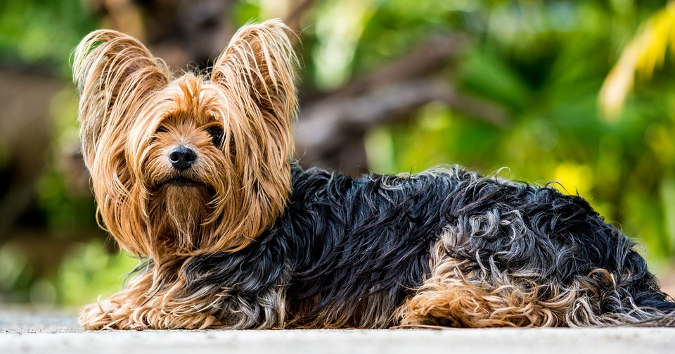 yorkshire-terrier-361730_960_720
