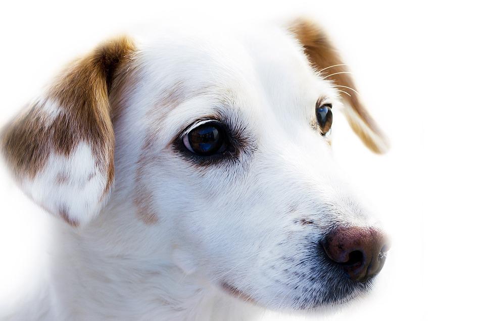 dog-72333_960_720