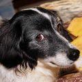 犬が痙攣する原因はなに!?早急にするべき対処法